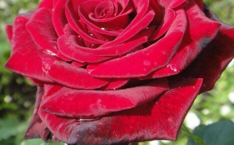 Украшая садовый участок, выбираем розу Гранд Гала