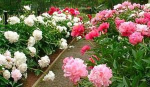 Где сажать цветы в огороде