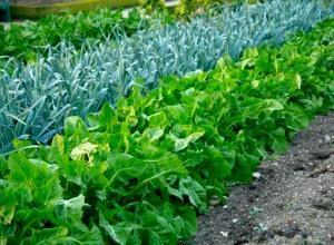 Что можно посеять и посадить в огороде осенью изоражения