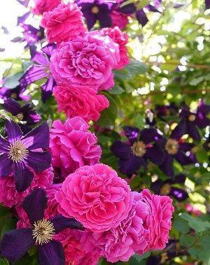 Бархатистые розы