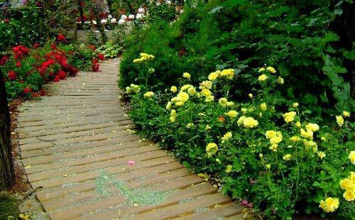 розы в доль дорожки