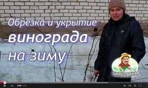 Видео урок как подготовить виноград к зиме