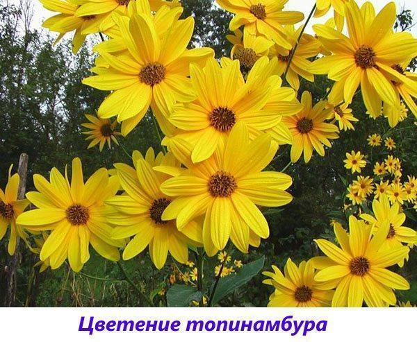 цветение топинамбура