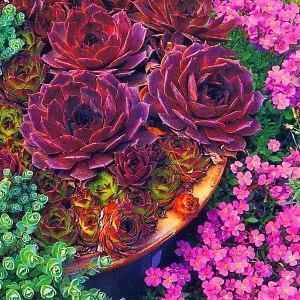 молодило - низкорослый цветок для клумбы