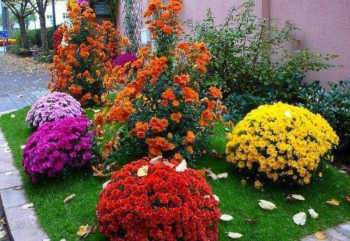 Низкорослые хризантемы для клумбы