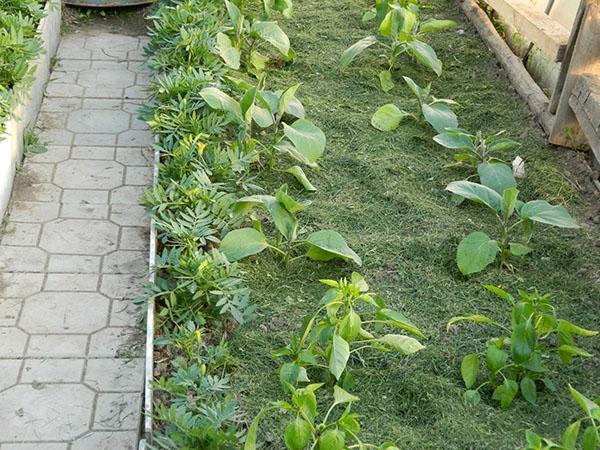 мульчирование грядок скошеной травой