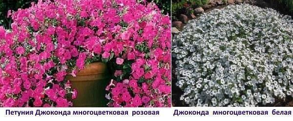 Джоконда многоцветковая розовая