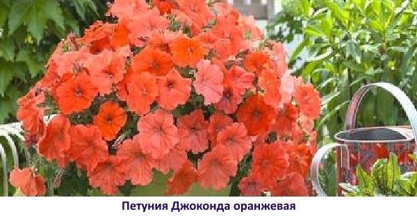 Джоконда оранжевая