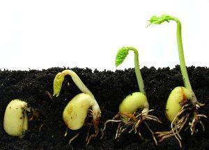 ростки рассады