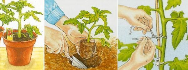 пересаживание томатов