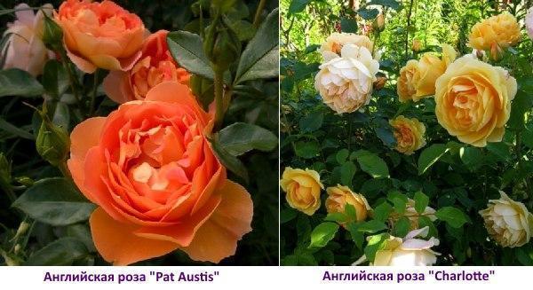 Английская роза Charlotte - фото