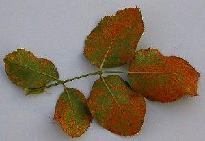 ржавчина на листьях роз