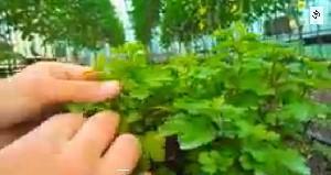 как вырастить рассаду хризантем?