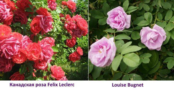 Канадская роза Felix Leclerc фото