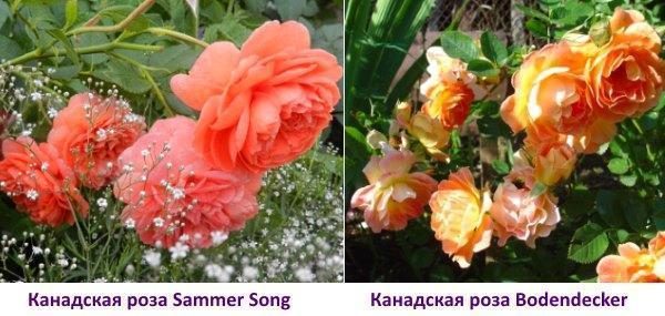 Канадская роза Sammer Song