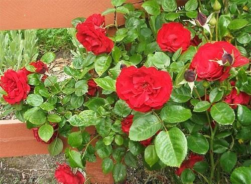 плетистая комнатная роза