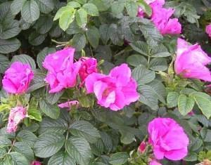 розовые цветы морщинистой розы