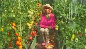 Видео Советы по выращивание Болгарских Перцев в теплице на даче