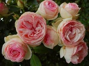 пионовидная роза фото