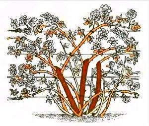 Правила обрезки плетистой розы фото