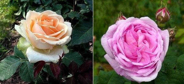Сорта чайных роз