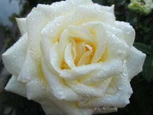 Советы когда лучше пересаживать розы
