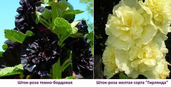 Шток-роза темно бордовая и желтая фото