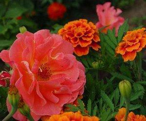 бархатцы с розами