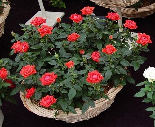 комнатная карликовая роза «Кордана»