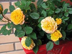 Роза «Шраб»