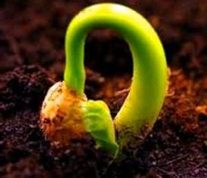 Как сажать бегонию семенами на рассаду