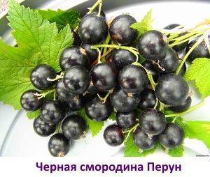 Фото черной смородины сорт Перун