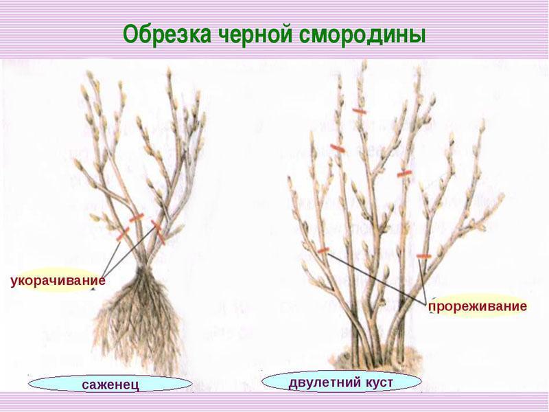 также обрезка красной смородины весной для начинающих в картинках пошагово круго много снега