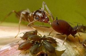 муравьи пьют молочку от тли