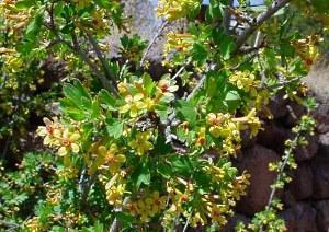 Смородина золотистая в цвету