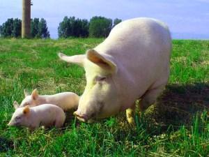 Свиной навоз