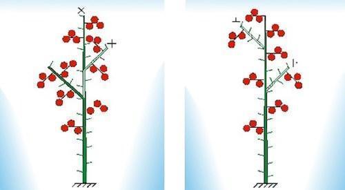 Схема формировки детерминантных томатов