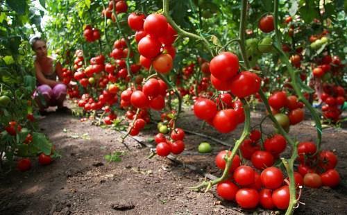 фото индетерминантных сортов томатов