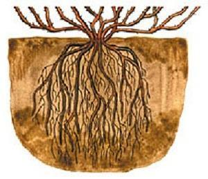 корневая система крыжовника
