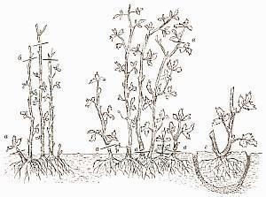 Необходимая обработка крыжовника после сбора урожая