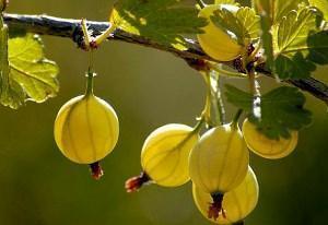Секреты выращивания крыжовника на приусадебном участке