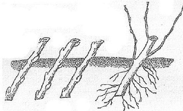 рассадка крыжовника черенками
