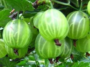 Подвой для яблони: особенности выращивания для прививки