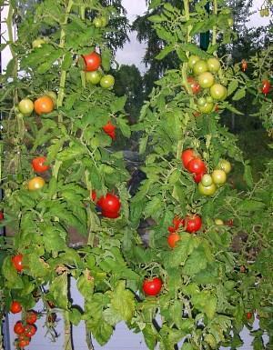 Урожайные сорта томатов для ленинградской области