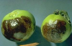 помидоры зараженные фитофторозом
