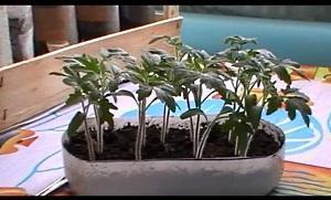 Для жителей Урала и Подмосковья - виды растений, выращиваемых через рассаду, посев семян в марте
