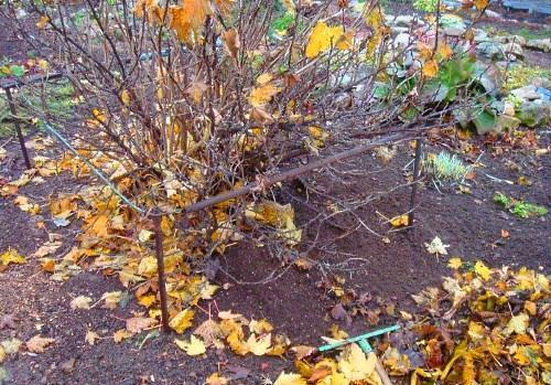 Особенности выращивания крыжовника на даче