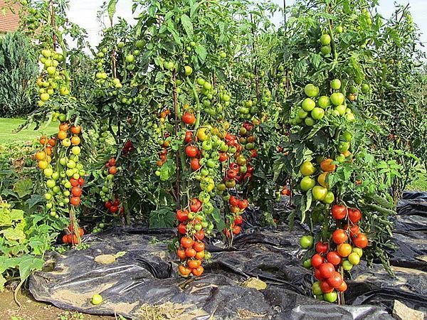 Много и качественно высокоурожайные сорта томатов