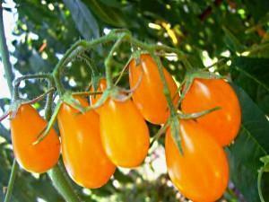 Лучшие сорта помидор для Подмосковья