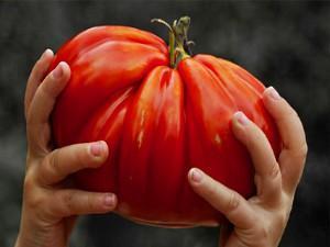 огромный помидор